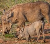 Mother Warthog With Her Baby, Grazing Grass. Photo By: (C) Simoneeman Www.fotosearch.com