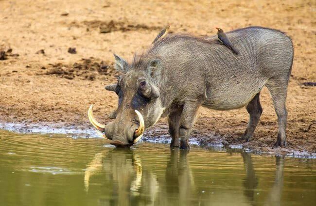 Older male warthog drinking at the water hole. Photo by: (c) AOosthuizen www.fotosearch.com
