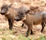 A Pair Of Baby Warthogs Looking For Their Mother. Photo By: (C) Fouroaks Www.fotosearch.com