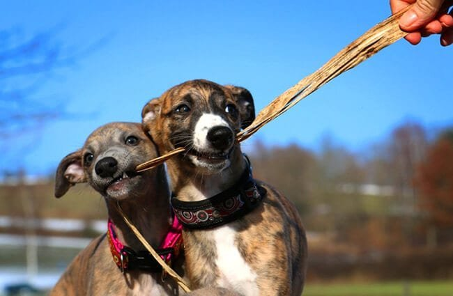 A pair of whippets play tug.