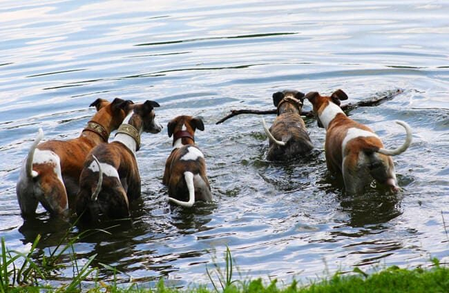 Several whippets playing in the water.