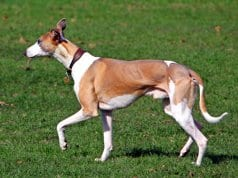 Whippet trotting across the field.