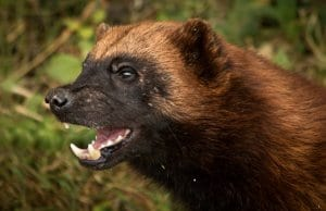 Closeup of a wolverine. Photo by: Barney Mosshttps://creativecommons.org/licenses/by/2.0/