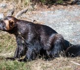 Wolverine In The Wild. Notice His Shaggy, Bear-Like Coat. Photo By: Johan Hansson //creativecommons.org/licenses/by/2.0/