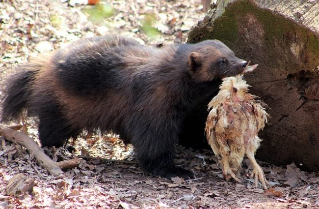 Wolverine carrying its lunch.