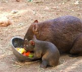 Mother And Baby Wombat.