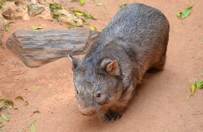 Wombat on a desert floor.