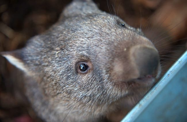 Closeup of a Common Wombat.
