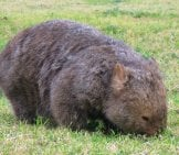 Wombat In A Grassy Field. Photo By: Charlotteinaustralia Https://creativecommons.org/licenses/by/2.0/