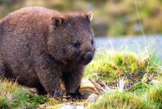 Common wombat, on the Cradle Mountain Enchanted Walk, Tasmania.Photo by: Karin Chttps://creativecommons.org/licenses/by/2.0/