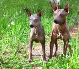 Two American Hairless Terrier Puppies Photo By: (C) Sergeytikhomirov Www.fotosearch.com