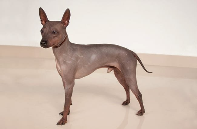 Portrait of an American Hairless TerrierPhoto by: (c) SergeyTikhomirov www.fotosearch.com