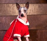 American Hairless Terrier In Holiday Dress Photo By: (C) Sergeytikhomirov Www.fotosearch.com