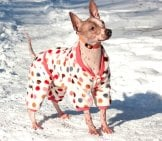 American Hairless Terrier Wearing Her Coat In The Snow Photo By: (C) Sergeytikhomirov Www.fotosearch.com