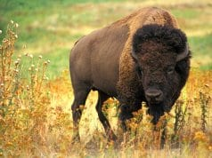 American Bison in a field
