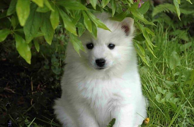American Eskimo Dog puppy posing in the garden