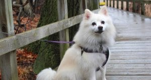 American Eskimo Dog posing for a photo while on a walk