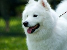 Pure white American Eskimo DogPhoto by: (c) zqfotography www.fotosearch.com