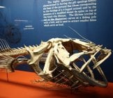 Anglerfish Skeleton Photo By: Kari Bluff //creativecommons.org/licenses/by/2.0/