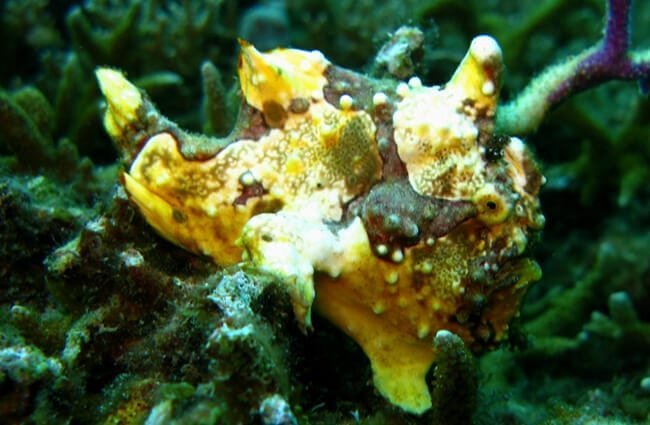Warty Frogfish (a species of Anglerfish)