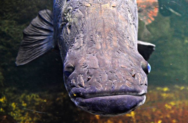 Arapaima in a zoo aquarium Photo by: Tobias Nordhausen https://creativecommons.org/licenses/by/2.0/