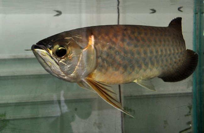 Asian Arowana in an aquarium Photo by: whologwhy https://creativecommons.org/licenses/by-sa/2.0/