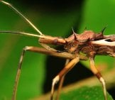 Closeup Of An Assassin Bug