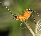 This Assassin Bug Nymph Does Not Yet Dislplay Wing Buds Photo By: John Flannery Https://creativecommons.org/licenses/by-Sa/2.0/