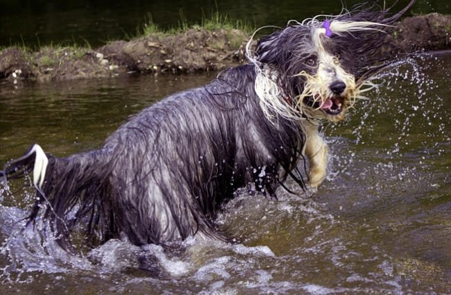 Grey and white bearded collie romping in the water