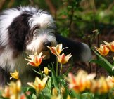 Beautiful Bearded Collie Smelling The Lillies