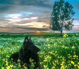 Black Belgian Sheepdog In A Field Of Flowers