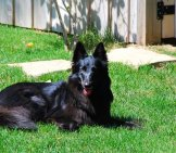 Beautiful Black Belgian Sheepdog Lounging In The Sun Photo By: Philcoford Https://creativecommons.org/licenses/by-Sa/2.0/
