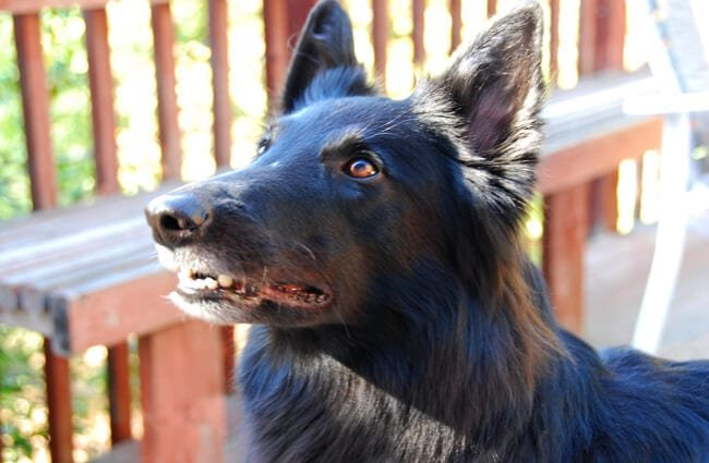 Black Belgian Sheepdog waiting for a treatPhoto by: PhilcoFordhttps://creativecommons.org/licenses/by-sa/2.0/