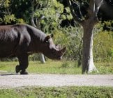 African Black Rhino On A Preserve Photo By: Cuatrok77 Https://creativecommons.org/licenses/by-Sa/2.0/