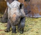 Baby Black Rhino Photo By: Olmoti Https://creativecommons.org/licenses/by-Sa/2.0/