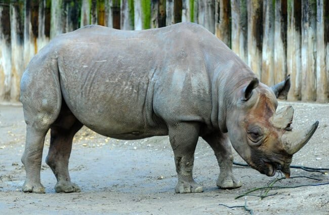Black rhino in a zoo setting
