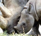 Mother And Juvenile Black Rhinos