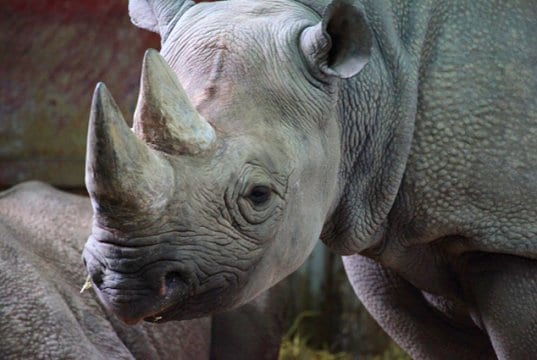 Closeup of a black rhino