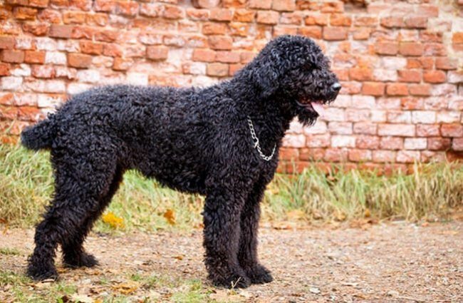 Black Russian Terrier posing in the drive Photo by: (c) DragoNika www.fotosearch.com
