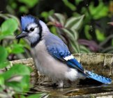 Beautiful Blue Jay Bathing In A Bird Bath