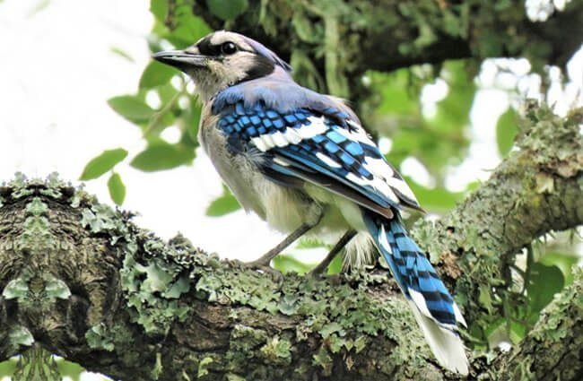 Notice the stunning colors of this blue jay