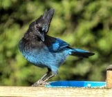 Steller's Jay (Species Of Blue Jay)