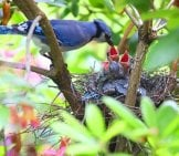Blue Jay Feeding Her Chicks