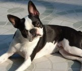 Boston Terrier Posing For A Picture
