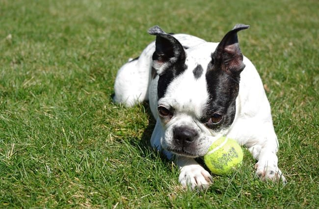 Boston Terrier in the yard with his ball
