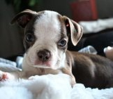 Boston Terrier Puppy Relaxing On His Blanket
