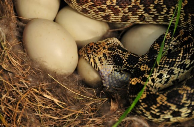 Bullsnake eating a mallard duck's egg Photo by: USFWS Mountain-Prairie https://creativecommons.org/licenses/by/2.0/