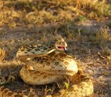 Bullsnake Threatening Photo By: Dallas Krentzel Https://creativecommons.org/licenses/by/2.0/