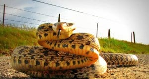 Bullsnake coiling up to strikePhoto by: Paul Kline//creativecommons.org/licenses/by/2.0/