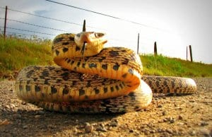 Bullsnake coiling up to strikePhoto by: Paul Klinehttps://creativecommons.org/licenses/by/2.0/